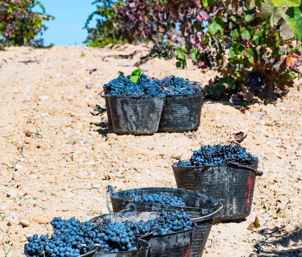 cubos de uva Bobal